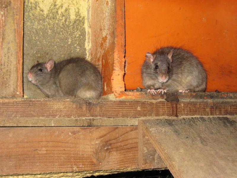 ratten verdelgen in huis