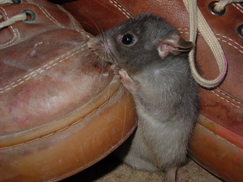 muizen verdelgen